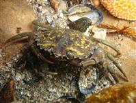 Crabe vert sud morbihan
